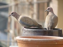 Two Laughing Doves