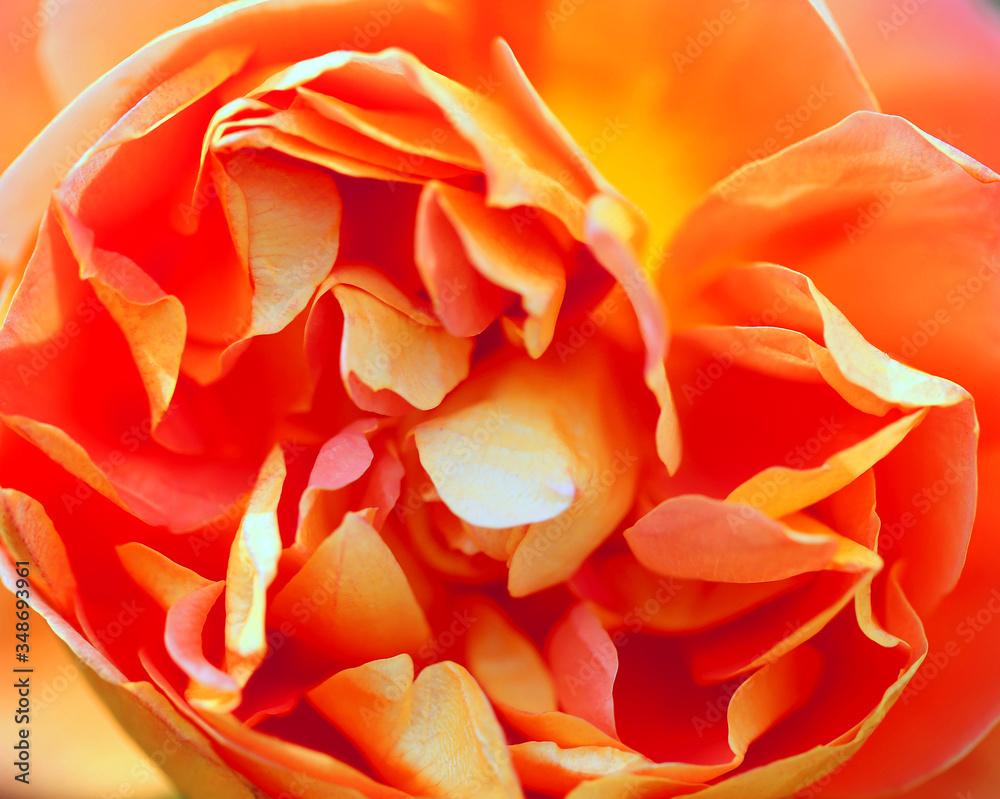 Fototapeta Beautiful photo of a rose in a summer garden
