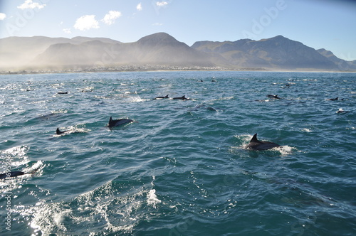A school of dolphins in front of the coastline of hermanus