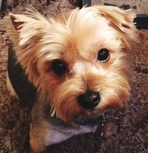Close-up Portrait Of Yorkshire Terrier