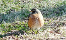 Close-up Of American Robin Perching On Field