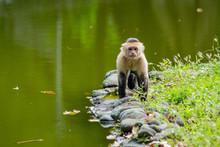 White Faced Capuchin Monkey (c...