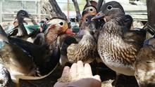 Cropped Image Of Hand Feeding Ducks On Field