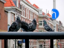 Four Pigeon Siting On Railings