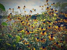 Black-eyed Susan Flowers Growing On Plant