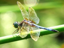 Blue Dasher On Branch Outdoors