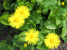 High Angle View Of Yellow Daisies Growing On Plants