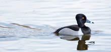 Male Ring-necked Duck In Blue ...