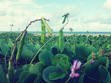 Close-up Of Green Peas Growing On Beach Against Sky