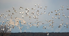 Snow Geese In Flight Against A...