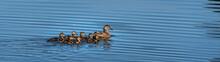 Female Mallard Duck With Seven...