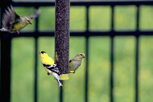 American Goldfinches At Bird F...