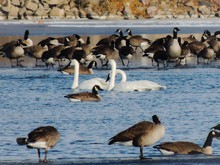 Canada Geese At Beach