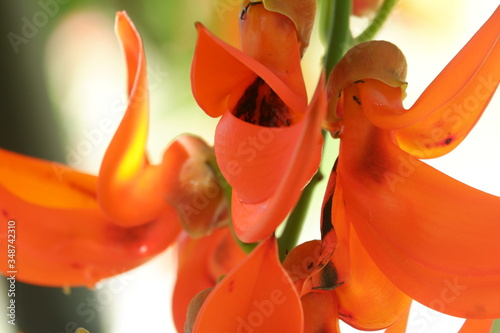 Fototapeta Close Up image of Bunga Kuku Macan / Red Jade Vine (Mucuna bennettii) comes from new guinea, tropical climbing plants with bright red flower bunches
