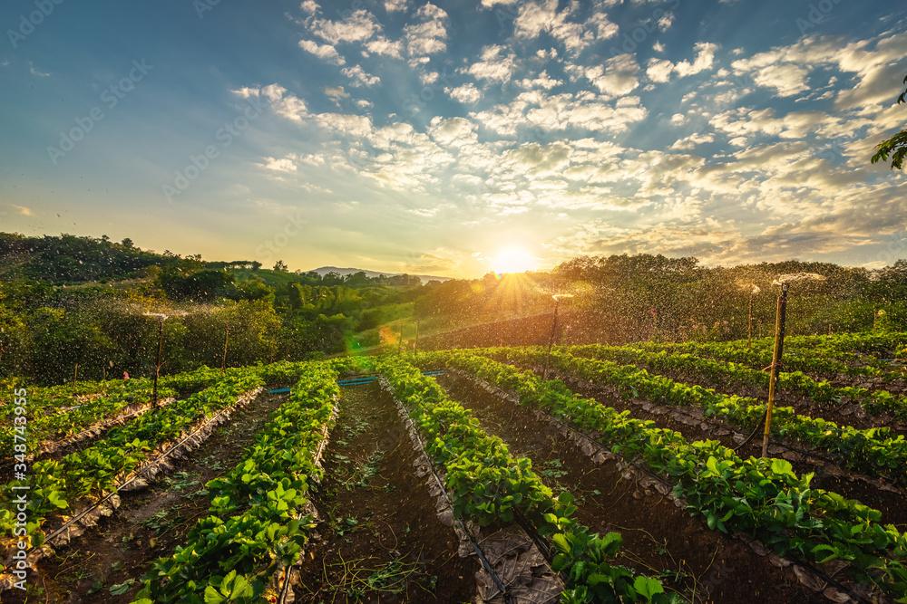Fototapeta beautiful strawberries farm in the morning.