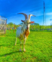 Billy Goat Standing On Field D...