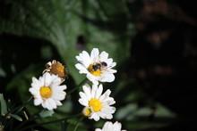 High Angle View Of Honey Bee Feeding On Daisy Flower