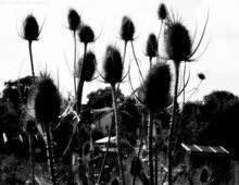Dried Thistles Against Sky