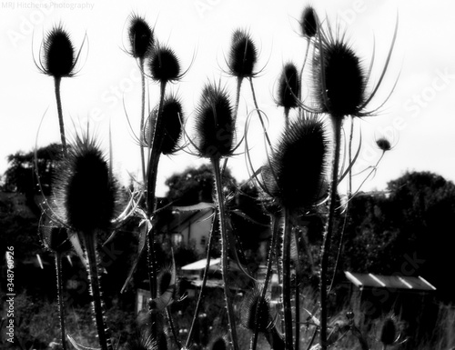 Fototapeta Dried Thistles Against Sky
