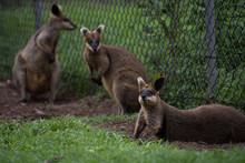 Kangaroos Relaxing On Landscape