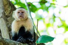 White Faced Capuchin Looking I...
