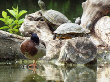 Duck And Turtles By Lake