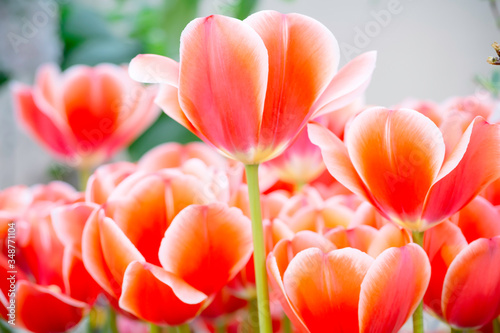 Fotografie, Obraz Colorful spring-blooming tulips flowers in the garden