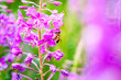 canvas print picture - Close-up of a bee feeding on a blooming flowers of Willow-herb (Ivan tea, fireweed, epilobium flower ) in a  field
