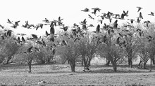 Canada Geese Flying Over Field