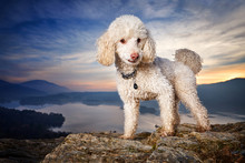 Miniature Poodle Dog Standing ...