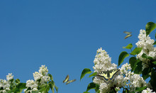 Blooming White Lilac And Butte...