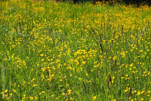 Wildflower meadow full of yellow buttercup (Ranunculus acris) flowers (Kaiserstu Canvas Print