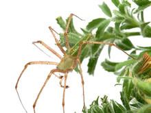 Green Lynx Spider, Peucetia Vi...