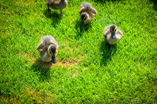 High Angle View Of Ducklings On Grassy Field