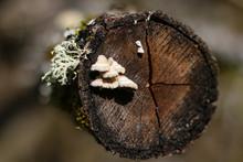 Kleiner Baumpilz Mit Flechte