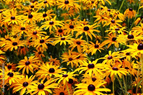 High Angle View Of Black-eyed Susan Flowers Tablou Canvas