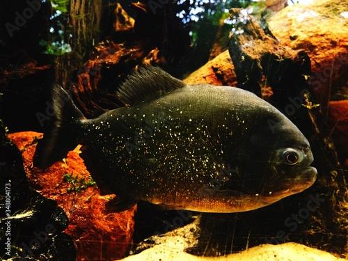 Fototapeta Piranha Swimming In Aquarium
