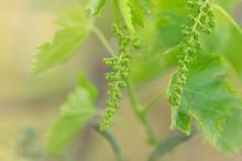 Grape Flower Buds, Baby Grapes...