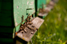 Bees, Bee Hives, Honey, Busy, Collectors, Nature, Yellow, Green, Population, Brown, Hive, Colors, Pollen, Queen, Wax, Crowded, Many, Little, Animal, Insect, Important, Saving, Multiply