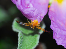 Yellow Crab Spider Hunting On ...