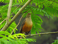Close-up Of Rufous-bellied Thr...