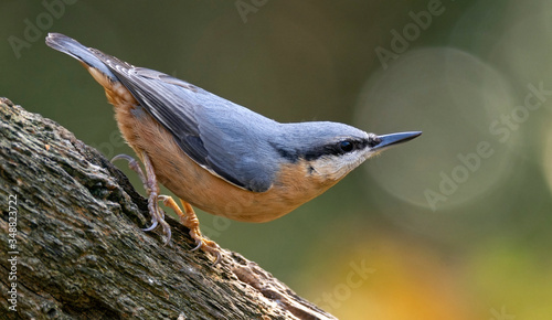 Nuthatch posing on a tree trunk Canvas Print