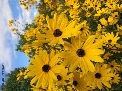 Fotografie, Tablou Black-eyed Susan Blooming Against Sky