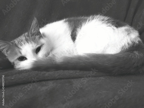 Fototapety, obrazy: Close-up Portrait Of Cat Relaxing On Sofa At Home