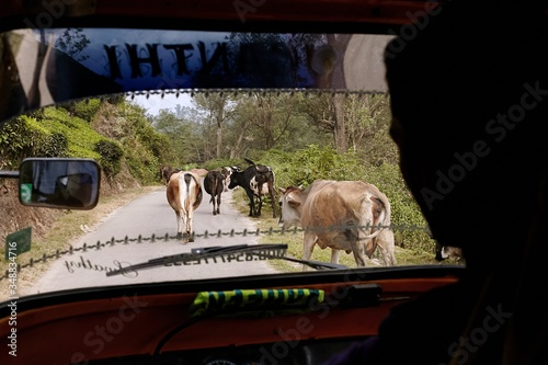 Vászonkép Silhouette Man Riding Rickshaw By Cows On Street