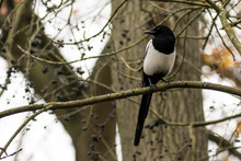 Low Angle View Of Black Billed Magpie Perching On Branch