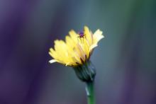 Close Up Of A False Dandelion ...