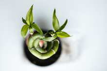 Beautiful Indoor Spiral Plant. The View From The Top. Bamboo Young Leaves. A Symbol Of Regeneration Of Life