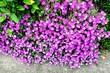 canvas print picture - Purple Flowers On Bush