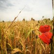 Red Poppies Blooming On Wheat Field Against Cloudy Sky